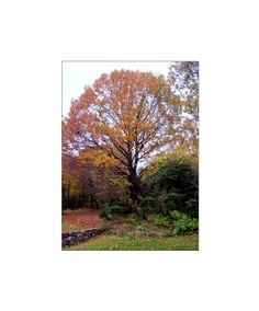 Autumn Oak Tree Photo16 x 20 inch  Fine Art by LovesParisStudio, $60.00