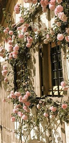 Pink rose climber