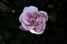 On my walk Walking By, Rose, Flowers, Plants, Photography, Pink, Photograph, Photography Business, Roses