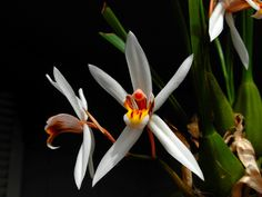 Coelogyne viscosa - Flickr - Photo Sharing!