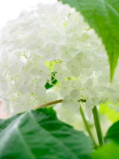 White .hydrangea