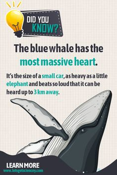 Fun Animal Facts: The blue whale has the most massive heart. It's the size of a small car, as heavy Animal Fact File, Animal Facts For Kids, Fun Facts For Kids, Fun Facts About Animals, Wtf Fun Facts, Science For Kids, Whale Facts For Kids, Jokes And Riddles, Good Jokes