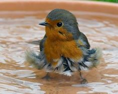Robin having a bath