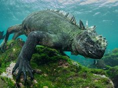 Wow people really like marine iguanas! You are obviously all very smart and good-looking. Like this suave guy  by simonjpierce