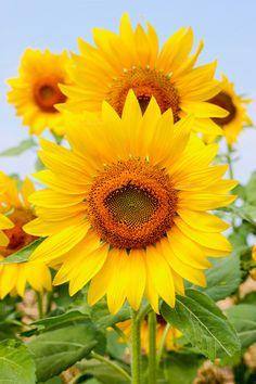 Sunflowers blossom by Pushish Images on @creativemarket