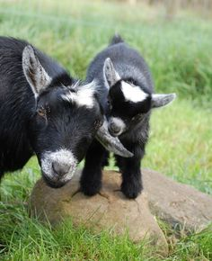 Pygmy Goat and Kid..