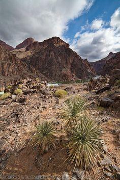 Yucca plants, Grand Canyon National Park, Arizona   Patrick J Endres