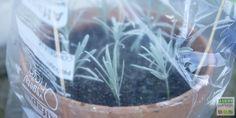 Lavender cuttings: how to do it? All the tips for growing lavender Garden Types, Love Garden, Garden Planters, Herb Garden, Gemüseanbau In Kübeln, Growing Lavender, Container Gardening Vegetables, Vegetable Gardening, Plantation