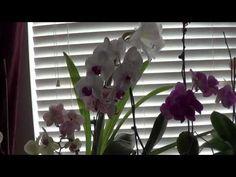 Орхидея.Как правильно ухаживать за домашними орхидеями - YouTube