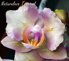 Manual de Cultivo Variedad matizada de la flor de una orquídea Mariposa, género Phalaenopsis