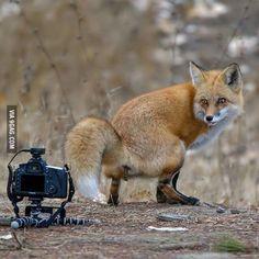 Fox shows camera who's boss.