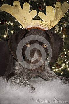 Photo about Dog dressed up as reindeer under a christmas tree. Image of look, season, looking - 61577703 Christmas Cards, Christmas Tree, Dog Dresses, Reindeer, Horses, Stock Photos, Dogs, Image, Christmas E Cards