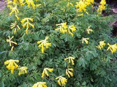 Une belle liste de L. Hodgson: des vivaces à floraison prolongée (4-6 semaines parfois plus). Merci M. Hodgson!