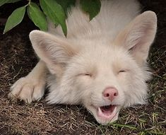Look at this albino fox. No wait..can't..stop..looking. Alright I'm done. Super cute.