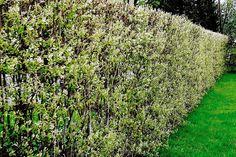 Tips om planting og vedlikehold av søtmispelhekk