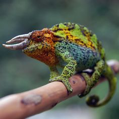 """creatures-alive: """" Jackson's chameleon by Tito Dupret """""""