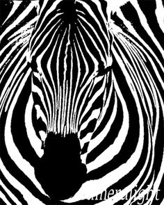 Zebra frontal viewblack and white photo graphic by Cameralight