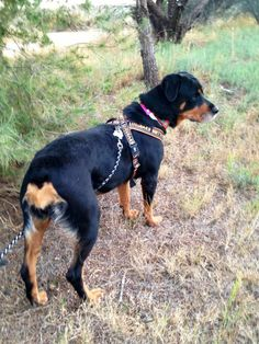 8/2016 SL  WAITING A YEAR!♥♥♥♥♥♥Meet Hannah, a Petfinder adoptable Rottweiler Dog   Tucson, AZ   Hannah is sweet and petite, self confident and well socialized. She is about five years old. She's...