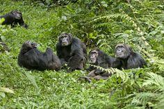 chimpanzee 2012 - Google Search