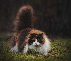 mstrkrftz: Mille, the Norwegian Forest Cat | Jane Bjerkli