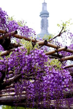 The Beautiful Country, Beautiful World, Beautiful Places In Japan, Purple Wisteria, Tokyo Skytree, Flower Landscape, Garden Structures, Japan Travel, Places To See