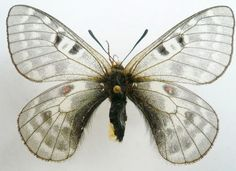 Parnassius Butterfly (Labeyriei Naocoae Weii Female Species, East Tibet, Butterflies Collection)