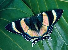 Alcides metaurus is a moth of the Uraniidae family. It is known from the tropical north of Queensland, Australia. The wingspan is about 100 mm. Adults are black with iridescent bands ...