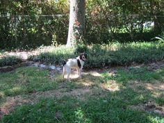 LOST FEMALE BRITTANY POINTER SPRING BRANCH,    GESSNER AND HAMMERLY DR. YESTERDAY around 2:00 PM.   BROWN AND WHITE SPOTS, MEDIUM SIZE DOG 35LBS.     IF FOUND CALL 832-455-0692.>     GESSNER AND HAMMERLY DR. YESTERDAY around 2:00 PM.      BROWN AND WHITE SPOTS,  MEDIUM SIZE DOG 35LBS.    IF FOUND CALL 832-455-0692.>  http://houston.craigslist.org/laf/3275788579.html#