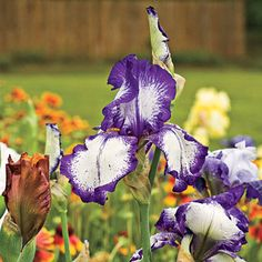 Seasonal Flower Guide Spring: azalea, daffodil, forsythia mandevilla, dogwood, wisteria, bearded iris (pictured), peony Summer: hydrangea, daylily, gardenia, crinum, lantana, crepe myrtle, impatiens, zinnia Fall: pansy, aster, sugar maple, beautyberry, ginger lily sasanqua camellia, holly, autumn crocus, mum Winter: winterberry, Colorado blue spruce, amaryllis, Lenten rose, rosemary, saucer magnolia, flowering quince, crocus