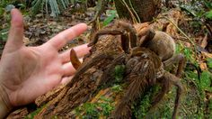 Goliath Encounter: Puppy-Sized Spider Surprises Scientist in Rainforest