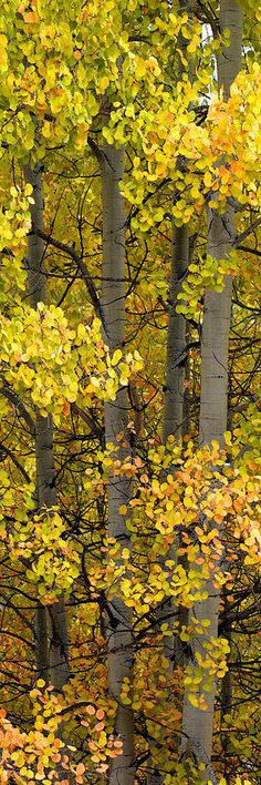 Colorado Photograph Owl Creek Pass Lite by Barry Bailey Beautiful World, Beautiful Places, Beautiful Pictures, Bonsai, Aspen Trees, Birch Trees, Tree Forest, Autumn Forest, Gras