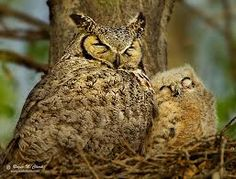 Mother & baby owls