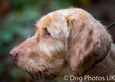 It's Wirehaired Wednesday... #hungarianwirehairedvizsla #vizsla #hwv #hpr #gundog #dogphotosuk