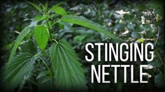 Stinging Nettle - Wild Edibles Series