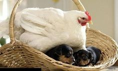 "You remember the Bible verse-- ""As a hen gathers her ...puppies under her wings ..."""