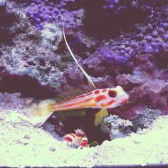 Twitter Yasha goby and symbiotic shrimp