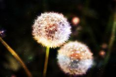 dandelions by Stephanie G. James, via Flickr