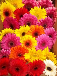Gerbera daisies arrive fresh and early, ready to brighten everyone's day.