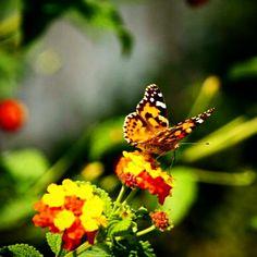 Perhonen ja kukka ©katiruotsalainen #pientalojapiha