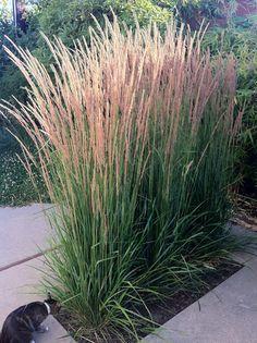 calamagrostis arundinacea 'karl foerster' 5-7', feathery stalks that emerge reddish-brown in spring and turn golden in fall