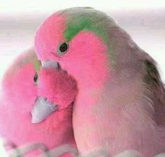 Pretty-in-Pink and green love birds they are adorable! Pretty Birds, Love Birds, Beautiful Birds, Animals Beautiful, Pretty In Pink, Animals Amazing, Beautiful Couple, Simply Beautiful, Exotic Birds