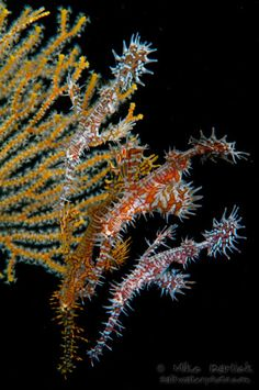 Several Ornate Ghost Pipefish (Solenostomus paradoxus) hover near a gorgonian.