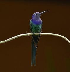 Foto beija-flor-tesoura (Eupetomena macroura) por Maria Jucá | Wiki Aves - A Enciclopédia das Aves do Brasil