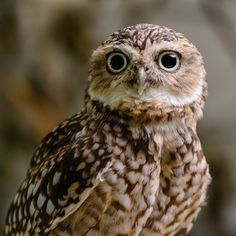 Spooky Owls There are over 220 known species of owl in existence. With their huge eyes and menacing stare it's easy to see why they are associated with all things spooky. Burrowing Owl, Barred Owl, Owl Photos, Owl Pictures, Owl Facts, Screech Owl, Great Grey Owl, Gray Owl, Owl Bird