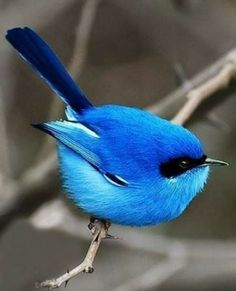 Blue Bird Pictures Wings 67 Ideas For 2019 Beautiful Creatures, Animals Beautiful, Cute Animals, Humorous Animals, Most Beautiful Birds, Beautiful Friend, Beautiful Things, Beautiful People, Cute Birds