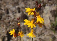 Australian Carnivorous Plants - Utricularia chrysantha