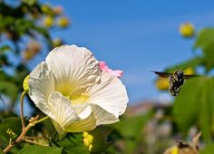 Bumble Bee Flying By Hibiscus by aeschylus18917, via Flickr