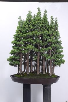 Wonderful Ficus Bonsai Bonsai Bonsai Forest And People Types Of Bonsai Plants Ficus Bonsai, Bonsai Plante, Bonsai Garden, Garden Plants, Bonsai Trees, Garden Soil, House Plants, Ikebana, Bonsai Forest