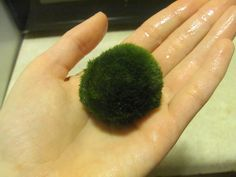 ♥ Fish Care Tips ♥ Benefits of the Marimo Moss Ball - they help keep the tank clean and betta can play with them Planted Aquarium, Aquarium Fish, Aquarium Ideas, Nature Aquarium, Aquarium Decorations, Aquariums, Betta Fish Care, Betta Fish Toys, Betta Tank