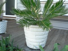 Relocate cycad to backyard.Paint pot in a new colour and plant with succulent mix.